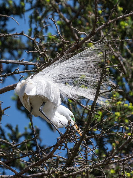 Great Egrets 2 May 2017 -4435