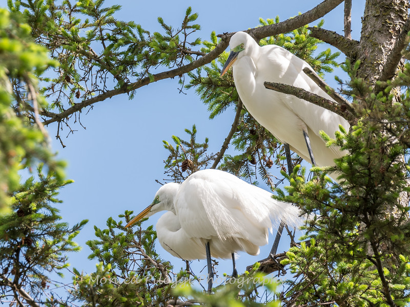 Great Egrets 2 May 2017 -4364
