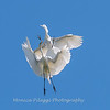 Great Egrets 2 May 2017 -4522