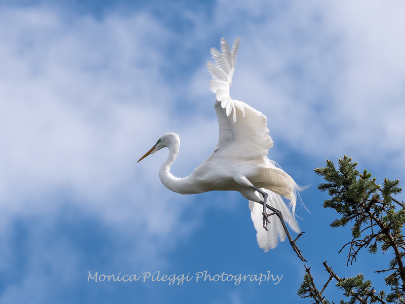 Great Egrets 2 May 2017 -3966