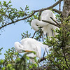Great Egrets 2 May 2017 -4374