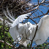Great Egrets 2 May 2017 -4440