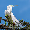 Great Egrets 2 May 2017 -4213