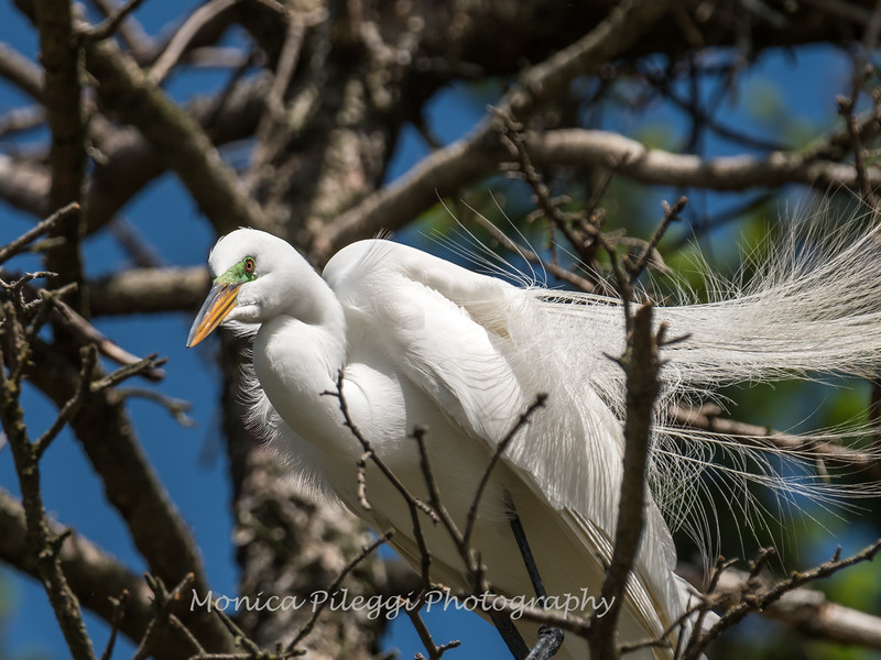 Great Egrets 2 May 2017 -4462