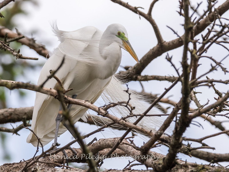 Great Egrets 2 May 2017 -4083