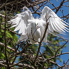 Great Egrets 2 May 2017 -4441