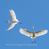 Great Egrets 2 May 2017 -4527
