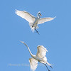 Great Egrets 2 May 2017 -4516