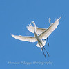 Great Egrets 2 May 2017 -4521