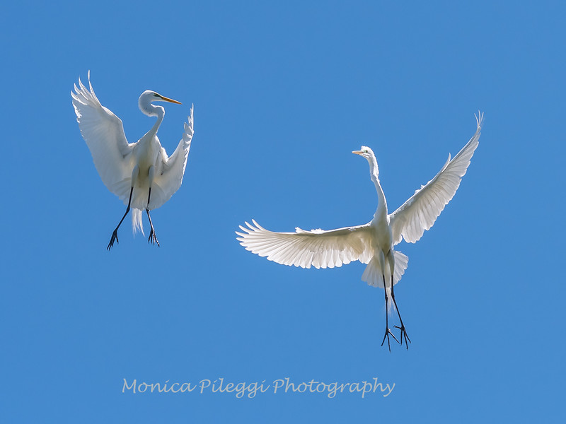 Great Egrets 2 May 2017 -4518