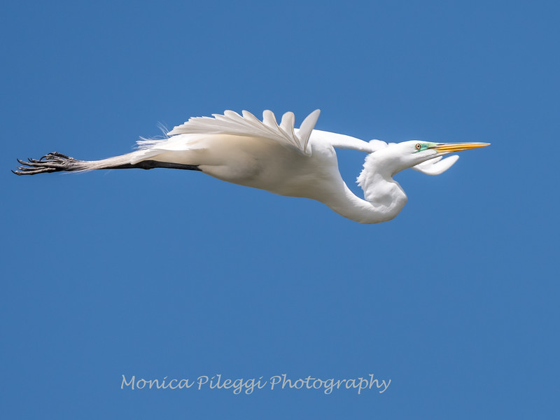 Great Egrets 2 May 2017 -4430