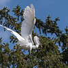 Great Egrets 8 Apr 2018-5831