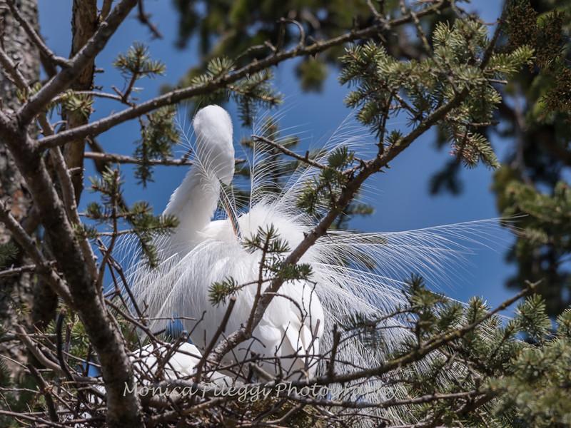 Great Egrets 8 Apr 2018-5834