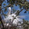 Great Egrets 8 Apr 2018-5834