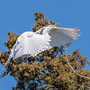 Great Egrets 8 Apr 2018-5111
