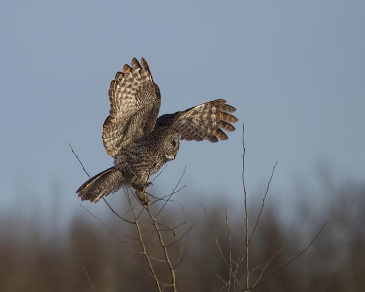 Great Gray Owl<br /> Near Edmonton, Alberta