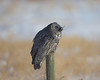 """Gulp!""<br /> Great Gray Owl<br /> Near Edmonton, Albertav"