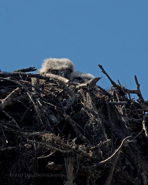 Great Horned Owl chicks.