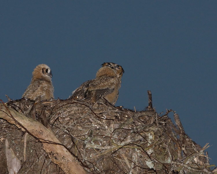 """""""Bert Looks On""""  As Mom and Ernie share a tender moment. Its amazing to witness the affection these Owls show for each other."""