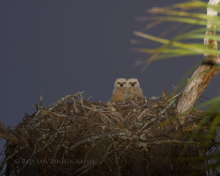 """Great Horned Owl babies.. """"There's that crazy guy with the camera again.. what's he looking at???  I don't know but I'm enjoying watching him swat mosquitos""""."""