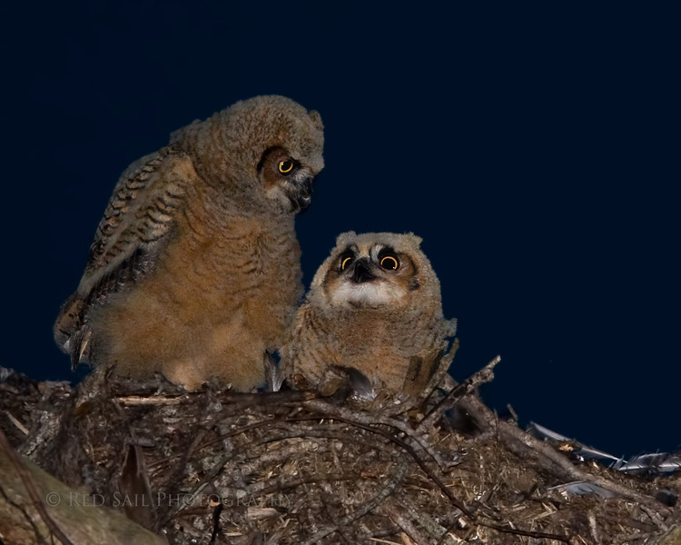 """""""Reassurance"""" Bert and Ernie are Great Horned Owls born on January 17th. Bert is on the left..."""