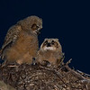 """Reassurance"" Bert and Ernie are Great Horned Owls born on January 17th. Bert is on the left..."