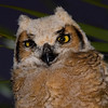 """Ernie Portrait""... Baby Great Horned Owl. Image taken in the wild."