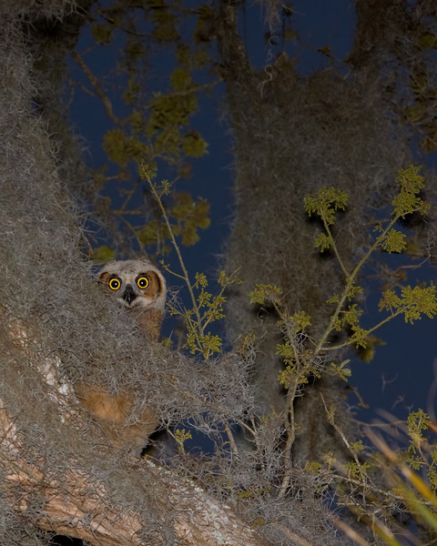 Great Horned Owl youngster.