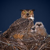 """Great Horned Owl Family 1"""