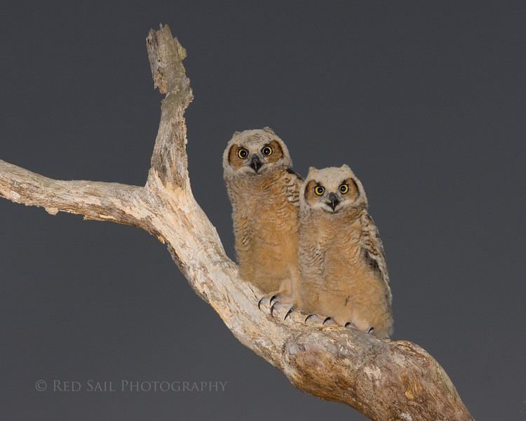 Bert and Ernie (Bert is on the left) Baby Great Horned Owls.