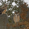 """Bert and Dad"" Great Horned Owls.."