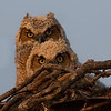 Bert and Ernie.. Two baby Great Horned Owls. They watch my every move.