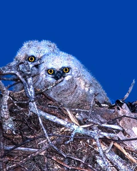"""The Chicks"" Great Horned Owl chicks"