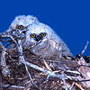 """The Chicks"" Great Horned Owl chicks"