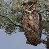 Great Horned Owl 12