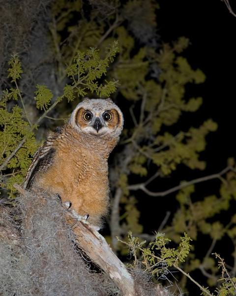 """""""Bert in the Tree"""" The oldest of the two Great Horned Owl babies takes a moment to check me out..."""