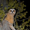 """Bert in the Tree"" The oldest of the two Great Horned Owl babies takes a moment to check me out..."