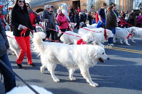 Many Pyrenees Dogs in Parade MIN_1760