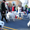 Parade of Pyrenees Dogs MIN_1774