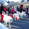Lots of Pyrenees Dogs in Parade MIN_1755B