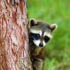 Baby Raccoon peaking out beside a tree. East Tennessee Animal, Mammal