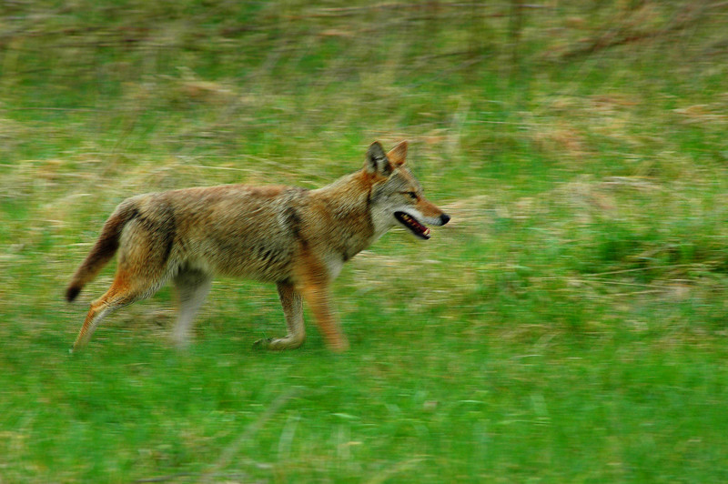 """Wylie"", a wild Coyote running in Cades Cove, Great Smok Mountains, Tennessee"