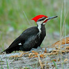 Pileated Woodpecker on a log in Cades Cove, Great Smoky Mountains National Park, East Tennessee, Bird