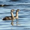 Ring-billed grebe pair