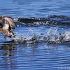 Pied billed grebes