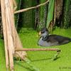 Baby Common Moorhen