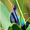 American purple gallinule (Porphyrio martinicus)