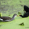 Juvenile Moorhen helping feed a later brood