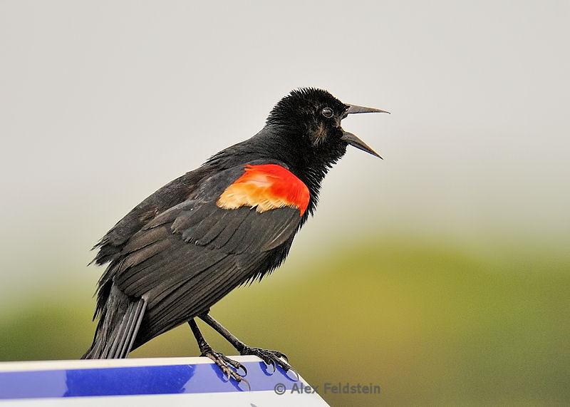 Red wing black bird (male)