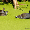 Baby Common Moorhens and mom